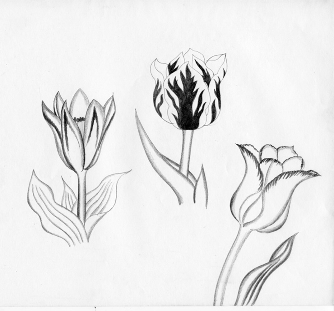Tulips, Graphite Pencil 70S 700Pix